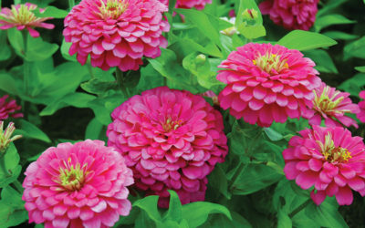 Zinnias Hot Colors for Hot Weather